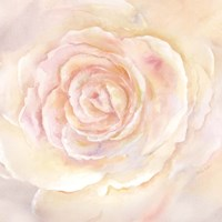 Blush Rose Closeup II Fine Art Print