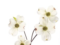 Dogwood Garland Fine Art Print