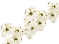 Dogwood Beauty Fine Art Print