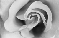 Gentle Rose Fine Art Print