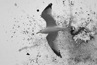 A Splash Of Gull Fine Art Print
