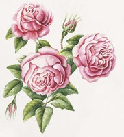 3 Roses Fine Art Print