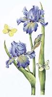 May Iris Fine Art Print