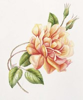 Peach Rose 11 Fine Art Print