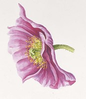 Purple Poppy Fine Art Print