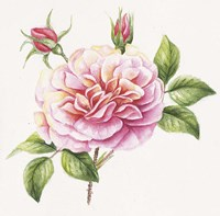 Single Rose 2 Fine Art Print