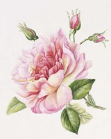 Single Rose 3 Fine Art Print