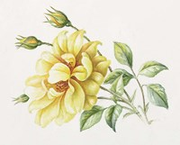 Yellow Rose 10 Fine Art Print