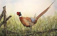 Glorious Pheasant Fine Art Print