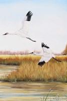 Whooping Cranes - C Fine Art Print