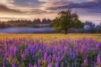 Lupine Sunrise Fine Art Print