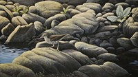 Along The Creek - Spotted Sandpiper Fine Art Print