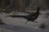 Strauch Pheasant Fine Art Print