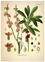 Thymelaeaceae Fine Art Print