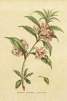 Herbal Botanical XXVI Fine Art Print