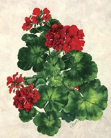 Red Geranium Fine Art Print