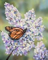 Butterfly with Hydrangea Fine Art Print
