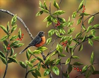 Robin with Holly Fine Art Print
