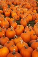Pumpkins 2 Fine Art Print