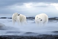 The Polar Bear Fine Art Print