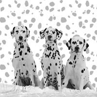 Dalmatian Fine Art Print