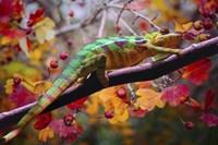 Chameleons Fine Art Print
