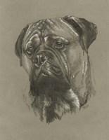 Bull Mastiff Fine Art Print