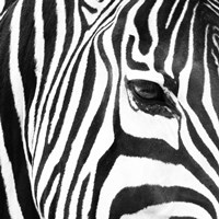 Zebra Up Close Fine Art Print
