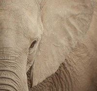 Elephant Up Close Fine Art Print
