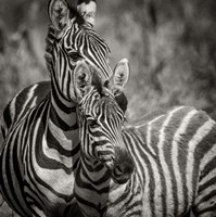 Zebra Pair Fine Art Print