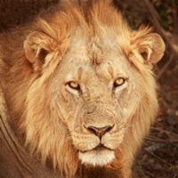 Lion Up Close Fine Art Print