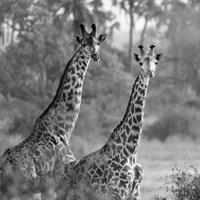 A Pair of Giraffes Fine Art Print