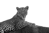 Leopard in Black and White Fine Art Print