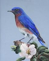 Eastern Bluebird Fine Art Print