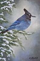 Stellar Jay in Winter Fine Art Print