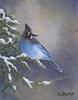 Stellar Jay Waiting for Sunrise Fine Art Print