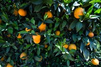 Oranges Growing on a Tree, California Fine Art Print
