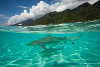 Sharks in the Pacific Ocean, Moorea, Tahiti, French Polynesia Fine Art Print