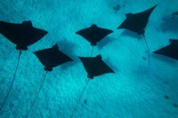 Eagle Rays Swimming in the Pacific Ocean, Tahiti, French Polynesia Fine Art Print