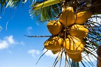 Coconuts Hanging on a Tree, Bora Bora, French Polynesia Fine Art Print