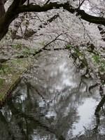 Cherry Trees Reflected in Moat of Hirosaki Park, Japan Fine Art Print