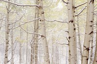 Autumn Aspens With Snow, Colorado Fine Art Print