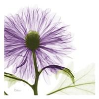 Lavish Purple Chrysanthemum Fine Art Print