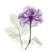 Lavish Purple Rose Fine Art Print