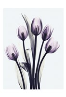 Essentially Tulips Fine Art Print