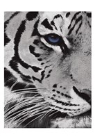 Tiger Purple Eye Fine Art Print