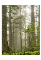 North Coast Redwoods Fine Art Print
