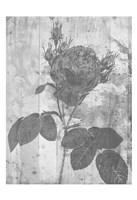Black Rose In My Garden Fine Art Print