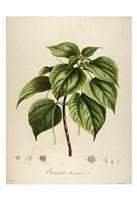 Vintage Botanical 198 Fine Art Print