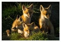 Red Fox Kits Fine Art Print